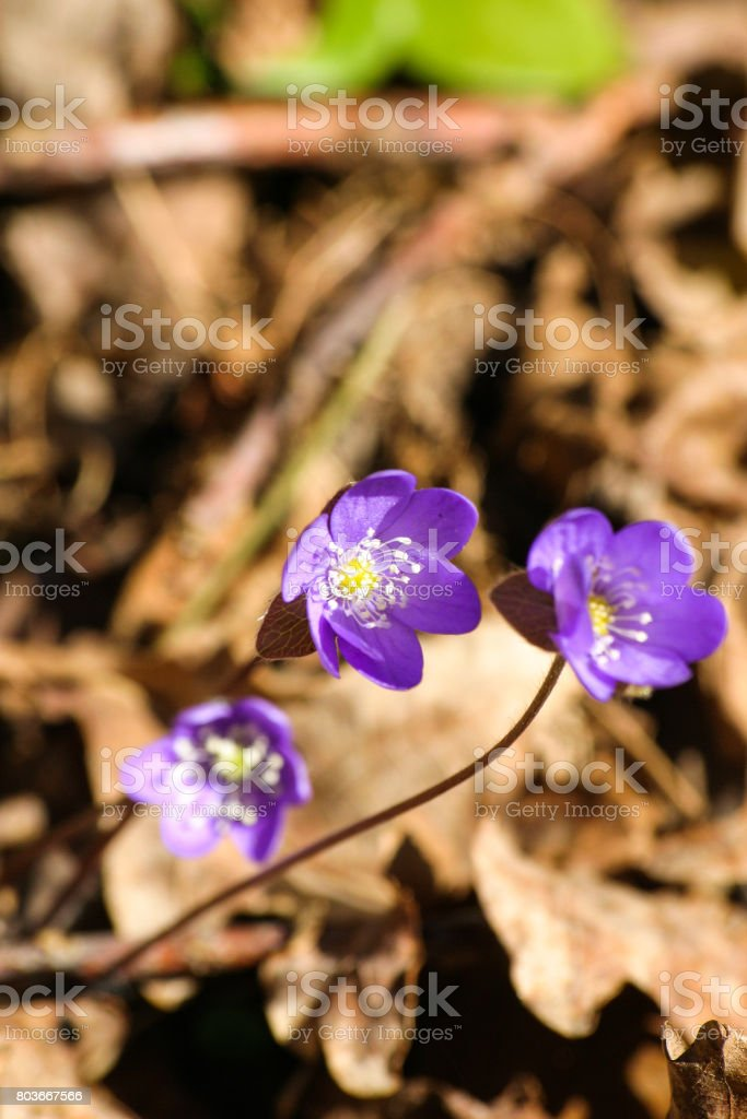 Beautiful common hepaticas on a natural background in spring stock photo