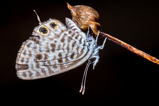 ドライフラワーマダガスカルに座って美しい共通ゼブラ青い蝶 ...