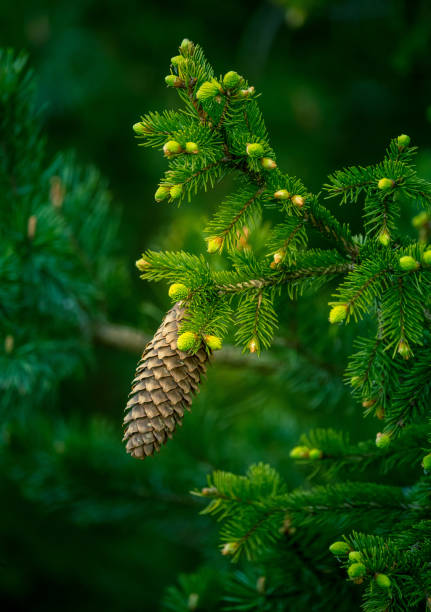 A beautiful conifer tree in the spring. Spikes and branches of spruce tree. stock photo