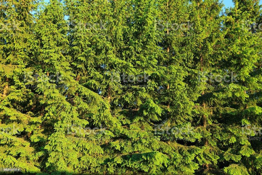 Beaux arbres conifères vert fond / textures. Mur de sapin vert naturel sur fond de ciel bleu. - Photo de Arbre libre de droits