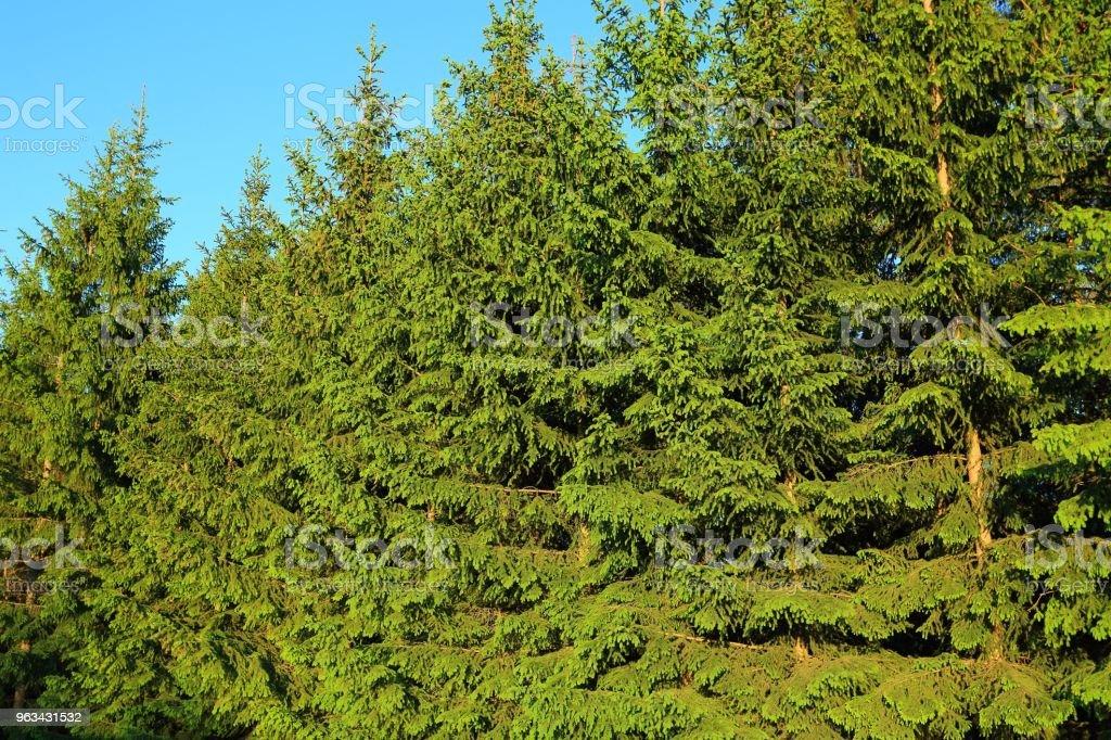 Beaux arbres conifères vert fond / textures. Muraille verte naturelle. - Photo de Abstrait libre de droits