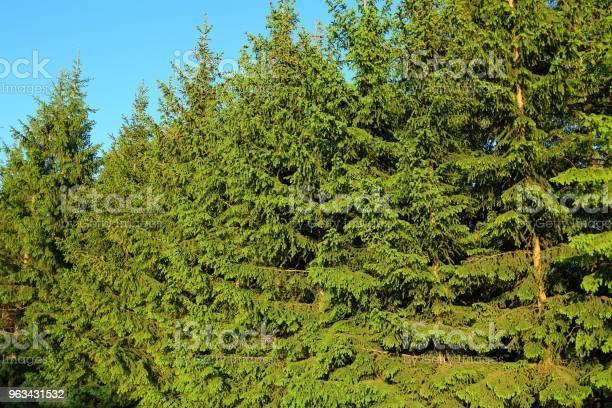 Piękne Drzewa Iglaste Zielone Tło Tekstura Naturalna Zielona Ściana - zdjęcia stockowe i więcej obrazów Abstrakcja