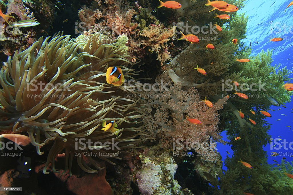 Beautiful coral reef with anemone royalty-free stock photo