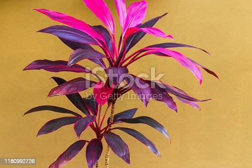 Beautiful Cordyline plant on cream wall in the background, colorful shade of leaves, purple, red, and pink. Selective focus.