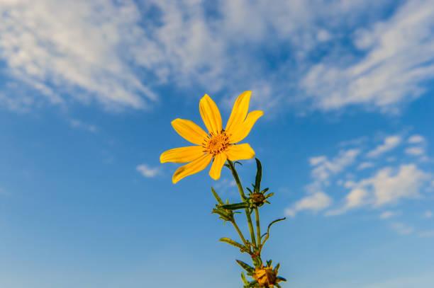 Beautiful Coreopsis flower on blue sky stock photo