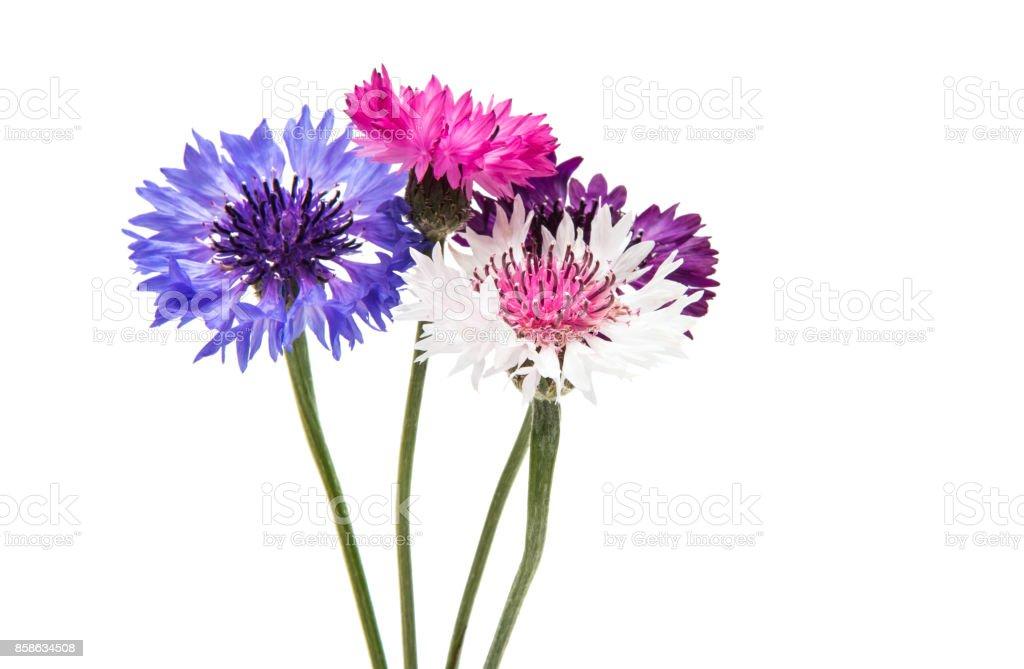 Beautiful cornflower isolated stock photo