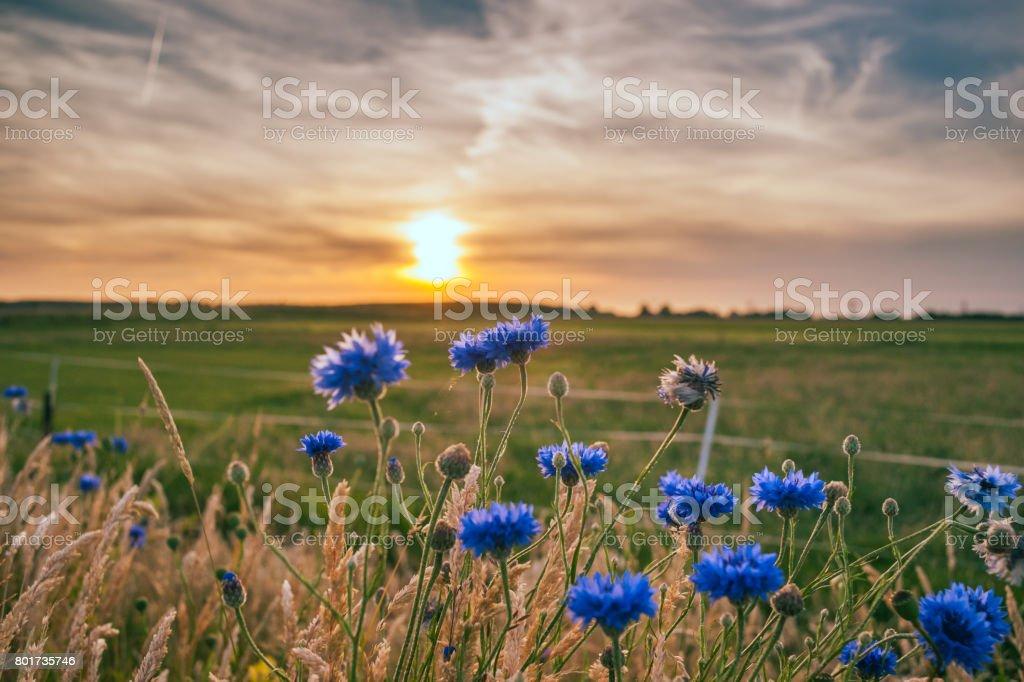Bleuets belles de plus en plus sur le terrain. - Photo