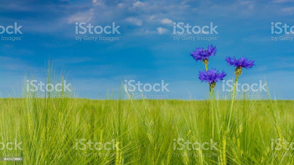 Beautiful cornflowers in barley - Centaurea Cyanus. HD ratio - 16x9 stock photo