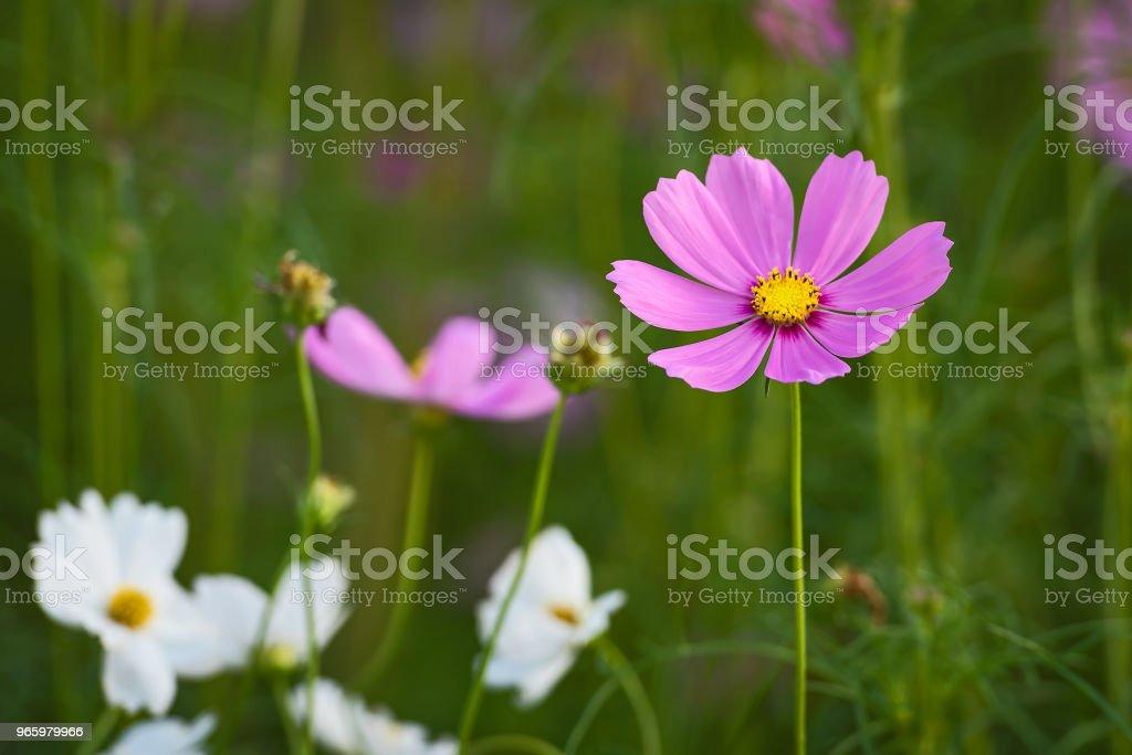 Vackra Cosmos blomma. - Royaltyfri Blomkorg - Blomdel Bildbanksbilder