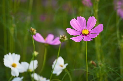 Vackra Cosmos Blomma-foton och fler bilder på Blomkorg - Blomdel