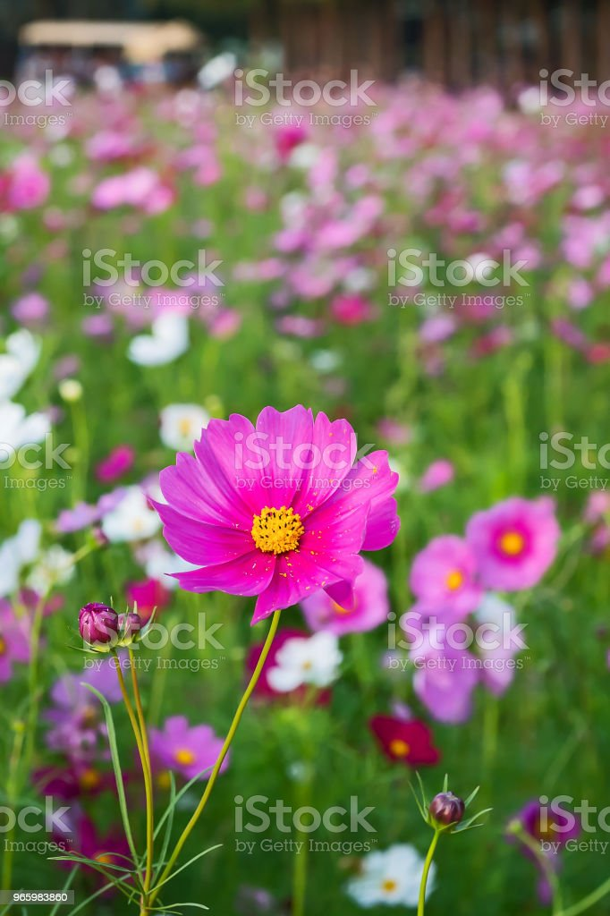 Beautiful Cosmos Flower. Cosmos flowers blooming in the garden. Agricultural Field Stock Photo