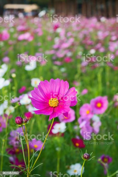 Beautiful Cosmos Flower Stock Photo - Download Image Now