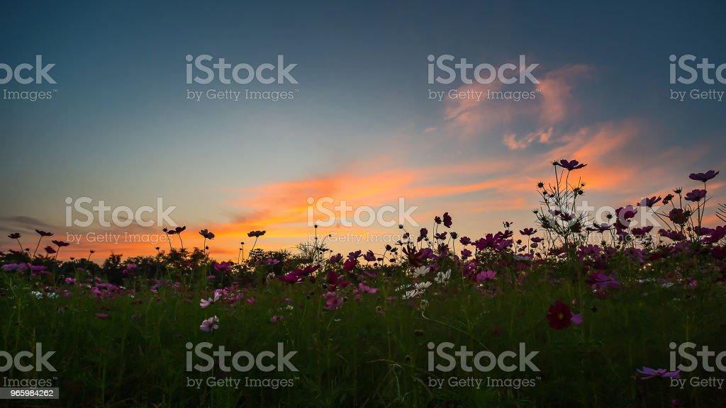 Mooie Cosmos bloem. - Royalty-free Blauw Stockfoto