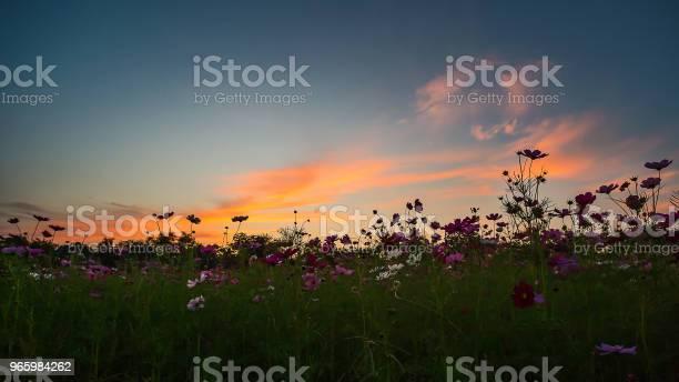 Mooie Cosmos Bloem Stockfoto en meer beelden van Blauw