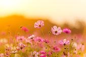 太陽の光と庭に咲く美しいコスモスの花