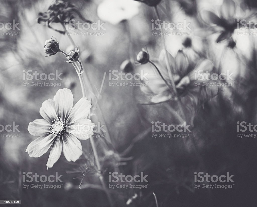 Beautiful cosmos flowers in natural sunlight. Black and white nature stock photo