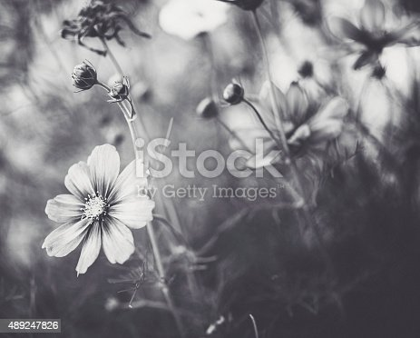 Beautiful Cosmos Flowers In Natural Sunlight Black And White