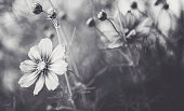 Beautiful cosmos flowers in natural sunlight. Black and white nature