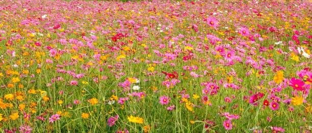 beautiful cosmos flowers – zdjęcie
