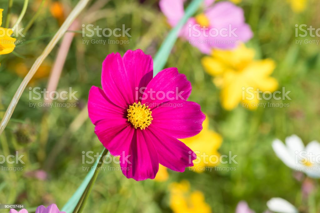 beautiful cosmos in garden. Close up of  cosmos flowers. stock photo