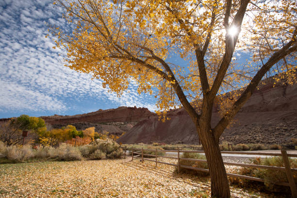 Beautiful cottonwood trees having yellow leaves as the season changes Beautiful cottonwood trees having yellow leaves as the season changes cottonwood tree stock pictures, royalty-free photos & images