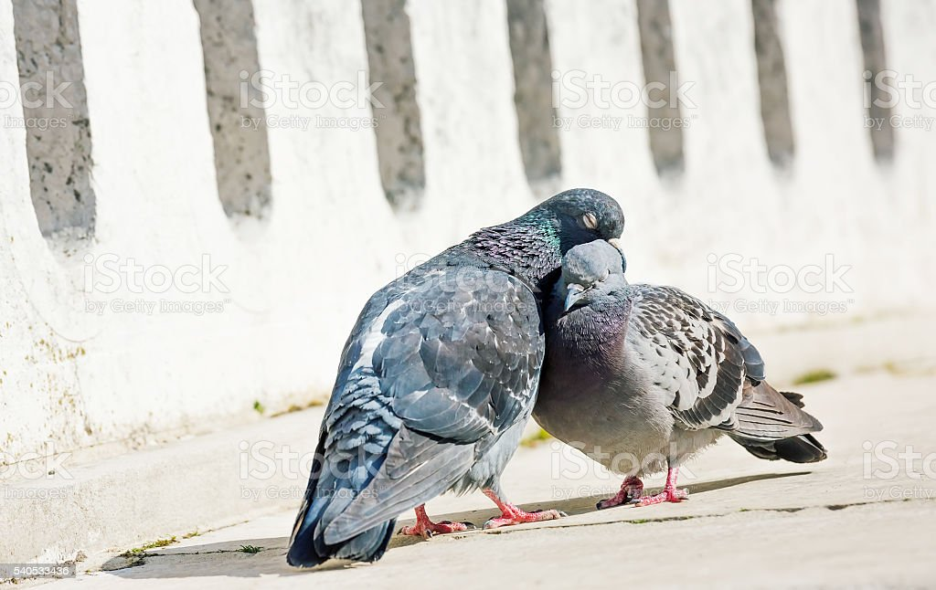 Beautiful couple of doves in loving stock photo