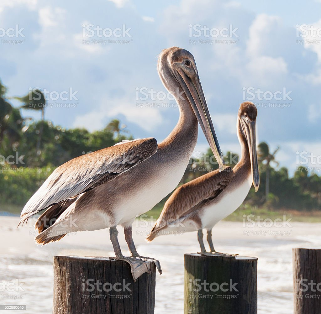 Beautiful couple of pelicans sitting at the wooden poles stock photo