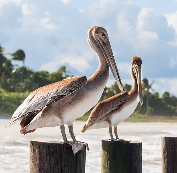 Beautiful couple of pelicans sitting at the wooden poles Pelicans sitting at the poles at the beach in Naples, FL naples florida stock pictures, royalty-free photos & images