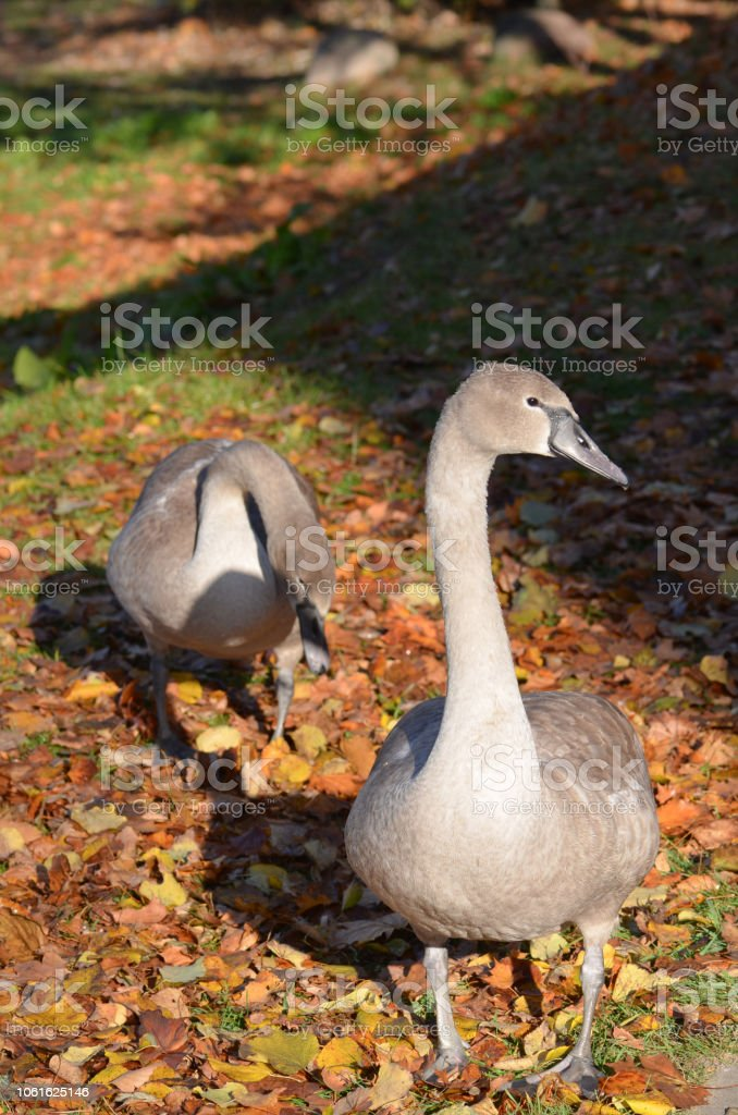 Beautiful couple of young gray colored swans stock photo