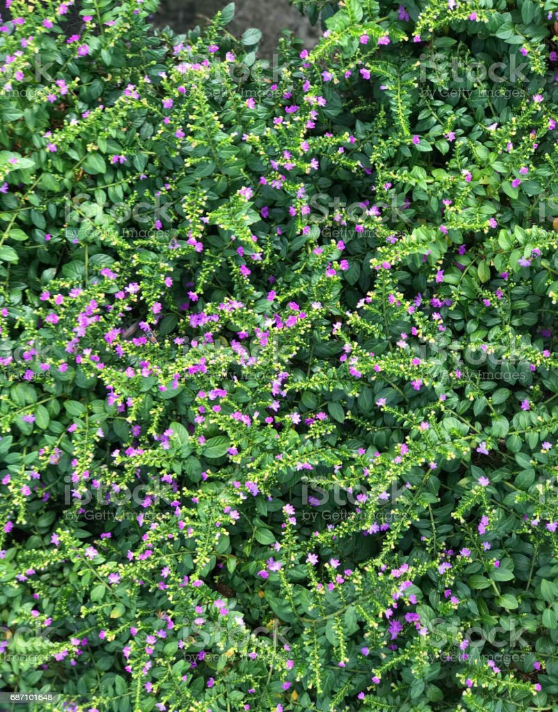 Beautiful cover plant with small purple flower (Cuphea hyssopifolia) Lizenzfreies stock-foto