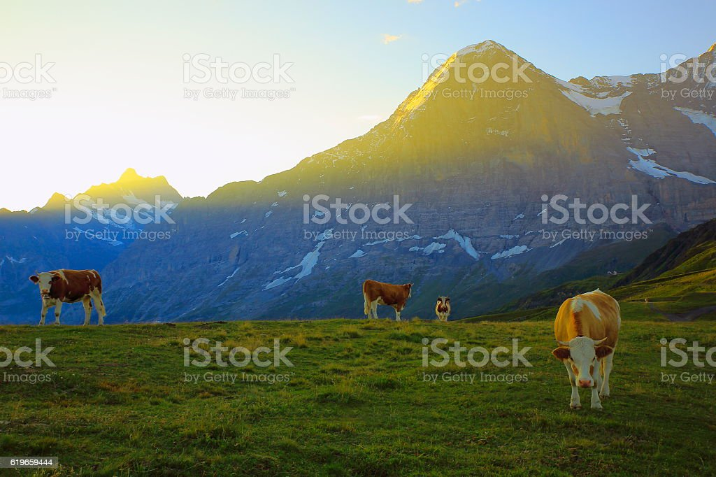 Beautiful cows herd and Eiger, above Grindelwald: Swiss Alps sunrise stock photo