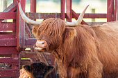 istock Beautiful cows on the farm 1285512120