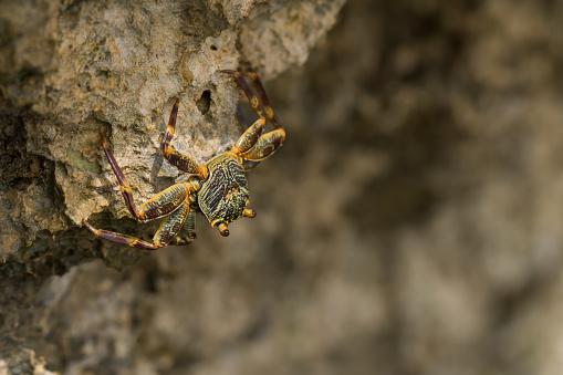 Beautiful crab (Brachyura) on the coastal rocks on the Red Sea. Egypt
