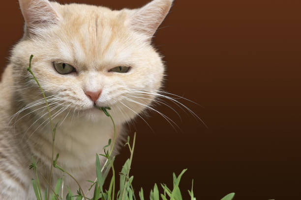 Schöne Creme Tabby Katze frisst Grass, auf braunem Hintergrund – Foto
