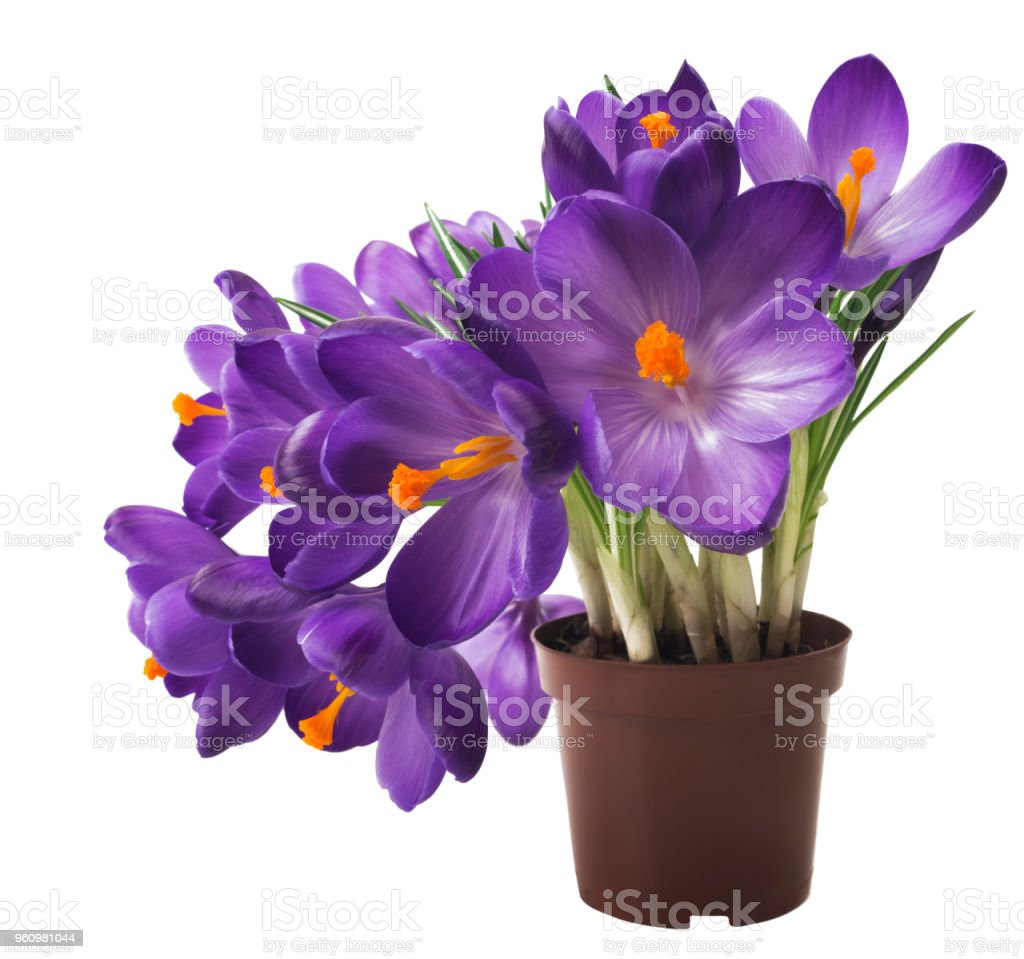Beautiful Crocus On White Background Fresh Spring Flowers Violet