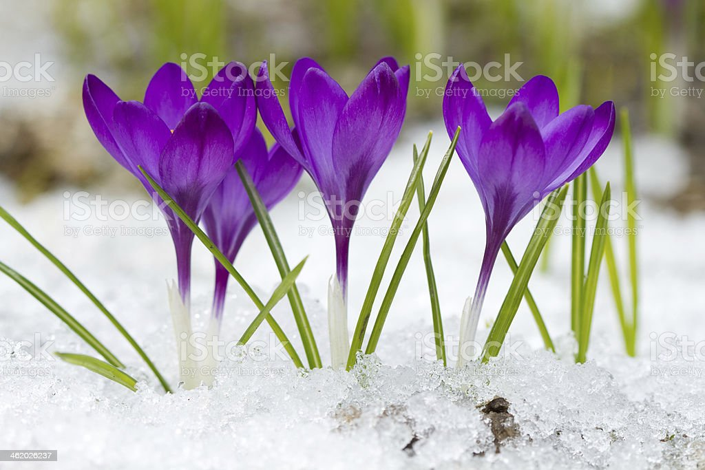 Beautiful  crocuses stock photo
