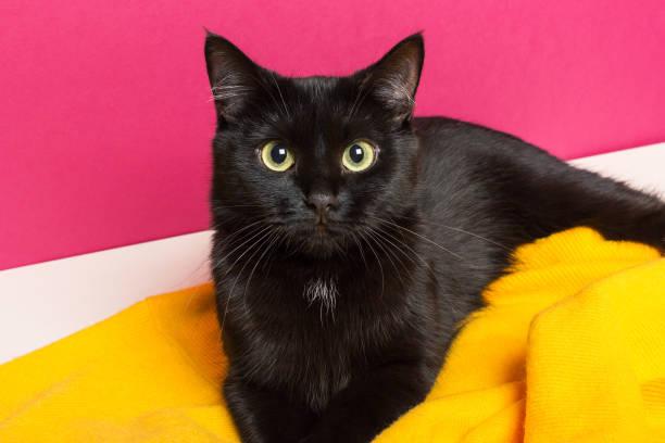Beautiful cute black cat lies on a bright yellow woolen plaid at home picture id1176030445?b=1&k=6&m=1176030445&s=612x612&w=0&h=hfg6ph5gzcljnnioojgv jmcdyudah8mcgzjyisregs=
