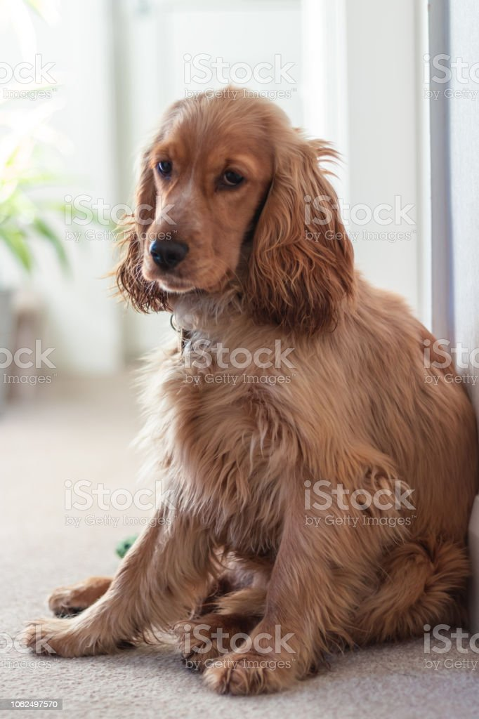 Beautiful Cute Golden Brown Cocker Spaniel Dog Puppy Stock Photo Download Image Now Istock