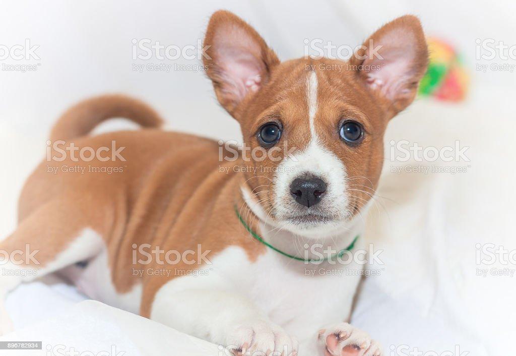 Beautiful Cute Puppy Dogs Not Barking Dog Breed Basenji Stock Photo