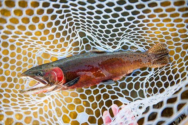 Beautiful Cutthroat Trout A beautiful cutthroat trout with a net about to be released. http://blog.michaelsvoboda.com/FishingBanner.jpg cutthroat stock pictures, royalty-free photos & images