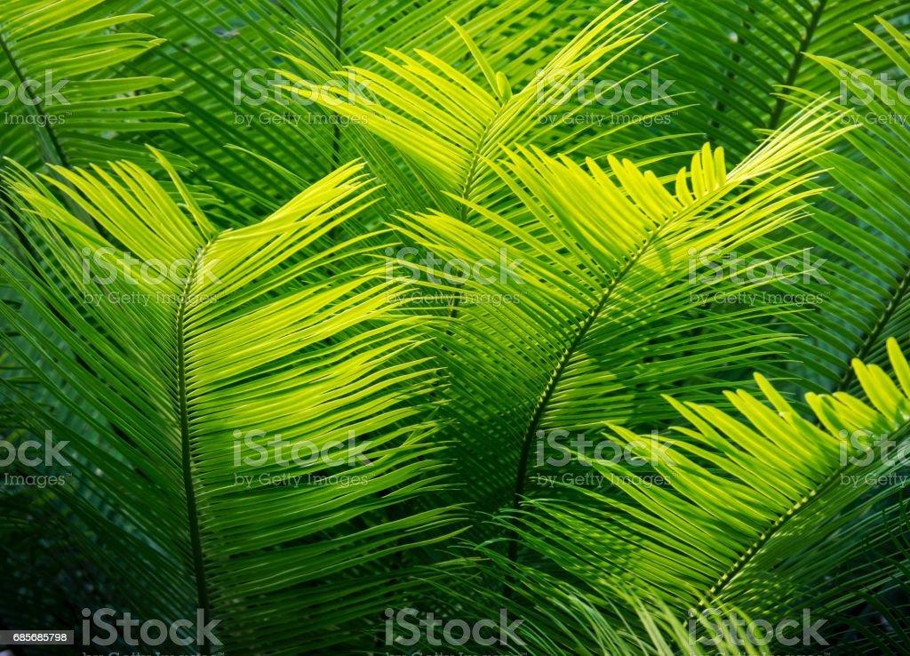 Schöne Cycad Blätter im Sommer Lizenzfreies stock-foto