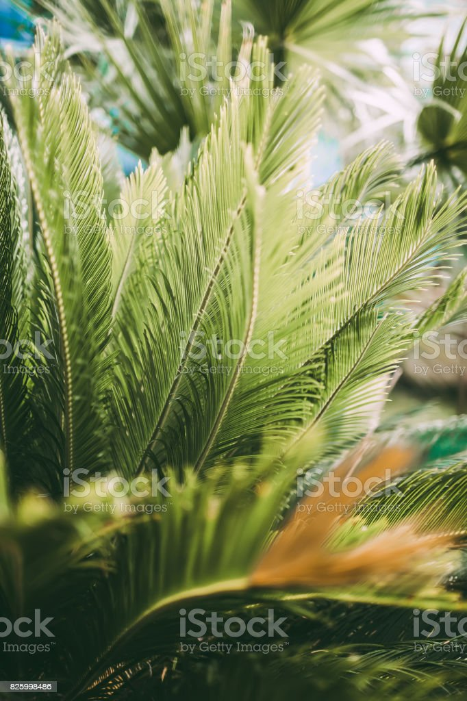 Beautiful Cycas palm leaves in garden, Italy stock photo