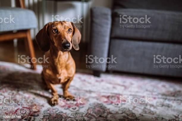 Beautiful dachshund dog in sunny living room picture id1095131788?b=1&k=6&m=1095131788&s=612x612&h=yos3bfzutknf0nclq3mpvxhe4d6xafwhcle w vuhju=