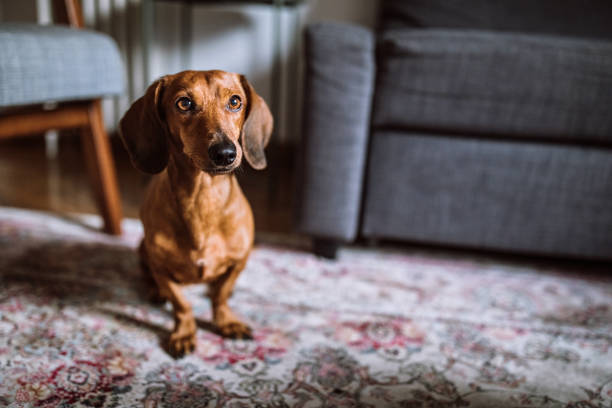 vackra tax hund i soligt vardagsrum - tax bildbanksfoton och bilder