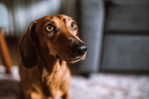 Beautiful dachshund dog in sunny living room
