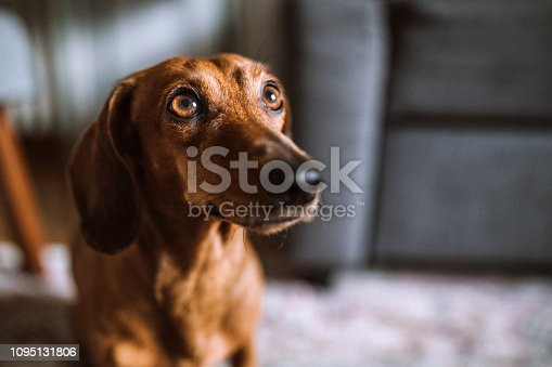 Brown dachshund dog On Sunny Day At Home