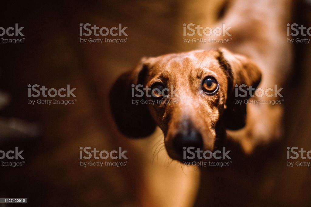 Beautiful dachshund dog in sunny living room - Foto stock royalty-free di Accudire