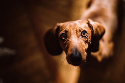 Beautiful Dachshund Dog In Sunny Living Room - Fotografie stock e altre immagini di Accudire