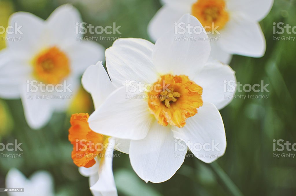 Beautiful Daffodil royalty-free stock photo
