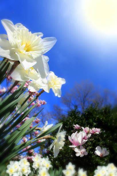 Beautiful daffodils in sunshine stock photo